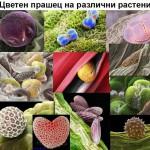 Полен - цветен прашец на различни растения